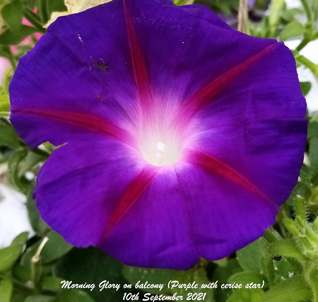 Morning Glory on balcony (Purple with cerise star) 10th September 2021(Cropped)