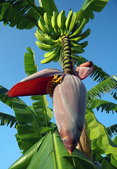 Banana palm tree in Carrillo with the large blossom and a bunch of small green bananas