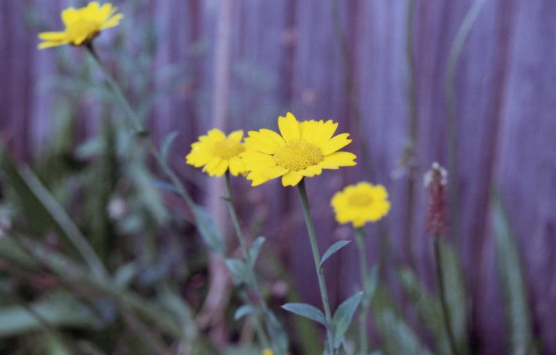Minolta 500si Yellow Flower