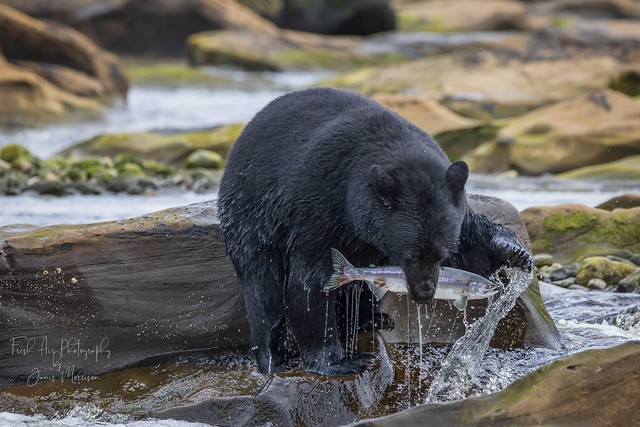 Vancouver Island Black Bear - Ursus americanus vancouveri  Northern Vancouver Island