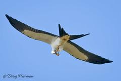 Swallow-tailed Kite flight food