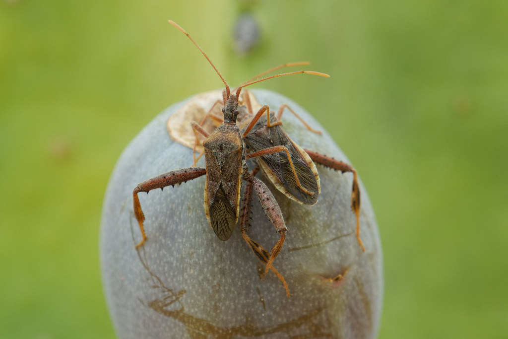 A leaf-footed cactus bug has its feet on another that is feeding from cactus fruit in our yard in Scottsdale, Arizona on August 31, 2021. Original: _RAC7569.arw