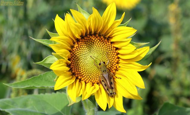 Sunflower and Grasshopper