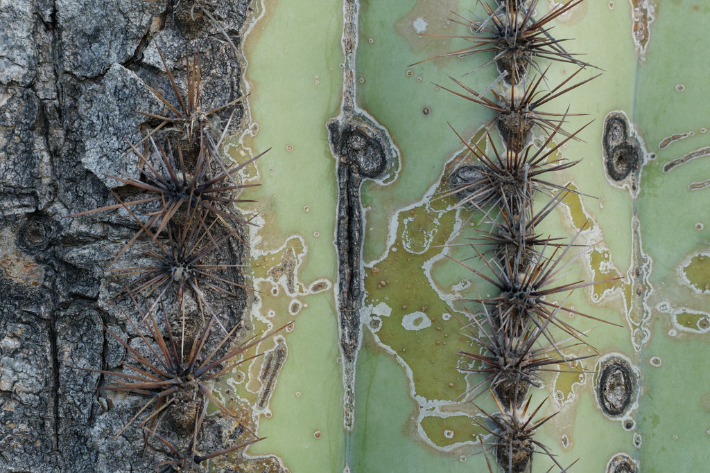 A close-up of worn and hardened skin of a saguaro on the Cone Mountain Trail in McDowell Sonoran Preserve in Scottsdale, Arizona on August 21, 2021. Original: _RAC7182.arw