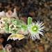 2021-09-09 Mesembryanthemum crystallinum - BG Teplice