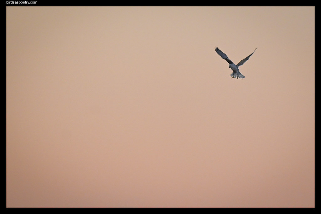 Black-shouldered Kite: Too Simple: or Simply Abstract