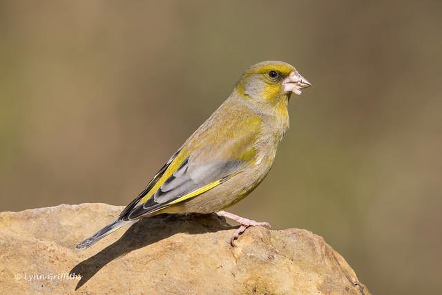 Greenfinch 850_3441.jpg