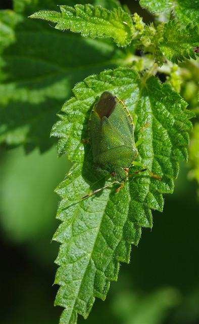 All green - Shield bug on nettle