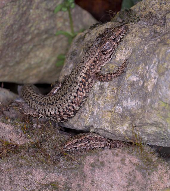 Wall lizards