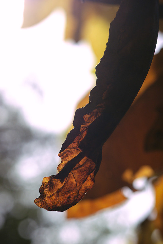 Dead leaf, Old Croton Aqueduct Trail