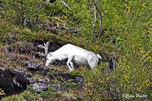a white reindeer