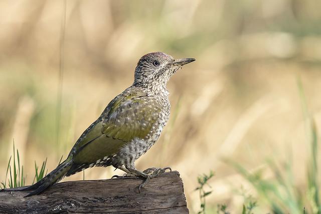 Green Woodpecker (j)