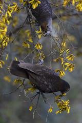Kaka ~ Otari-Wilton's Bush