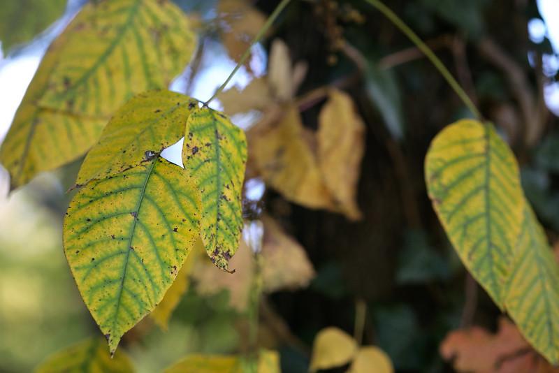 Leaf veins, Old Croton Aqueduct Trail