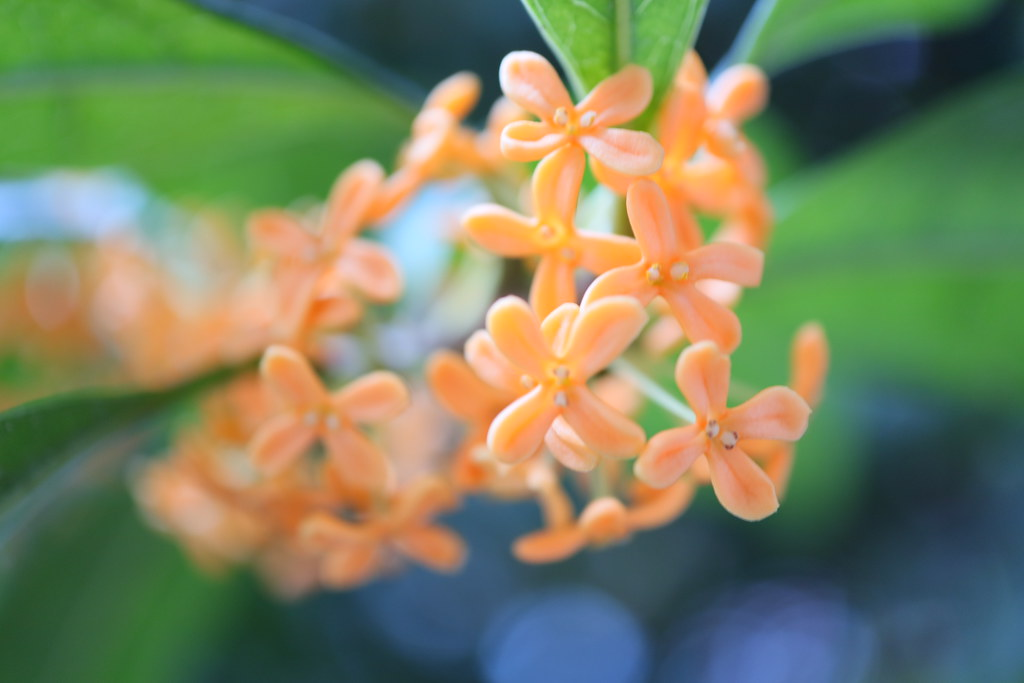 fragrant orange-colored olive