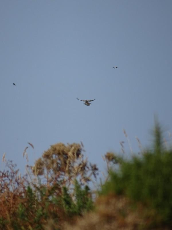 Hovering Hawk