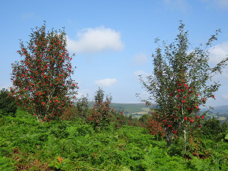 Rowan trees, with red berries