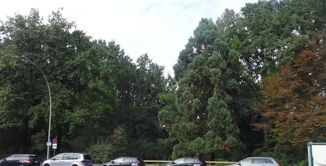 2 Riesenmammutbäume (sequoiadendron giganteum) im Großen Tiergarten Altonaer Straße in 10557 Berlin-Tiergarten