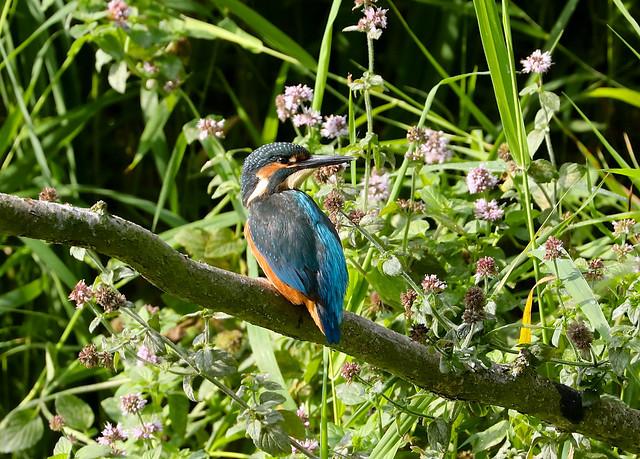 Common Kingfisher --- Alcedo atthis