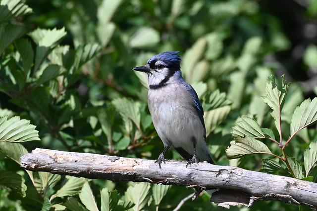 Geai bleu--Blue Jay(Cyanocitta cristata)