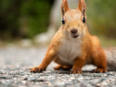 The kyrguyzs squirrel (Glups.. you caught me)