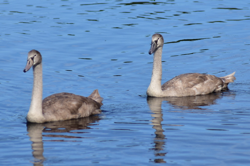 DSC_1665 Mute Swan Cygnets @ Connetquot River