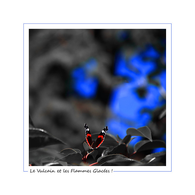 The Red Admiral and the Frozen Flames ! / Le Vulcain et les Flammes Glacées !
