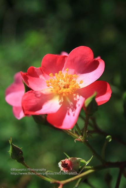 Lauda, wild flower
