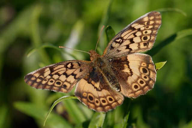 Mariposa del pastizal