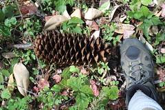 Those sugar pine cones were huge