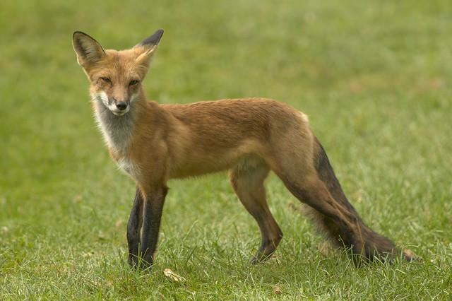Red Fox | Vulpes vulpes | #138 In Explore | 9/12/2021
