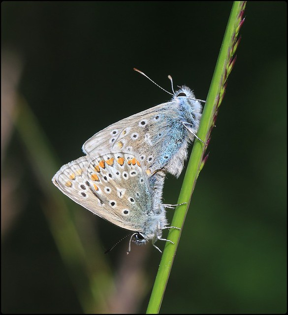 Common Blues mating - Linear Park