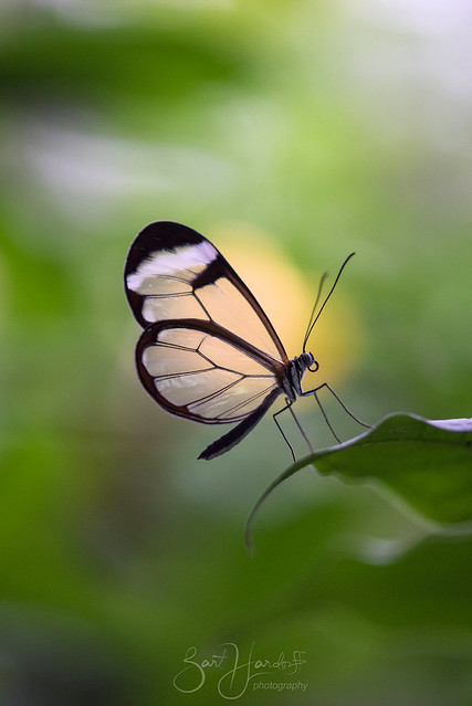 Glasswinged butterfly explored