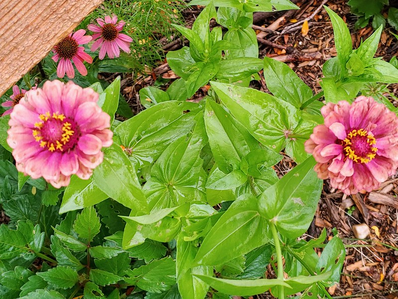 Queen Lime (red) Zinnia - semi-double