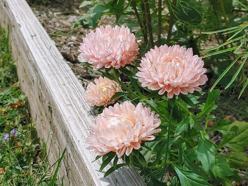 Duchess Peony Apricot Asters