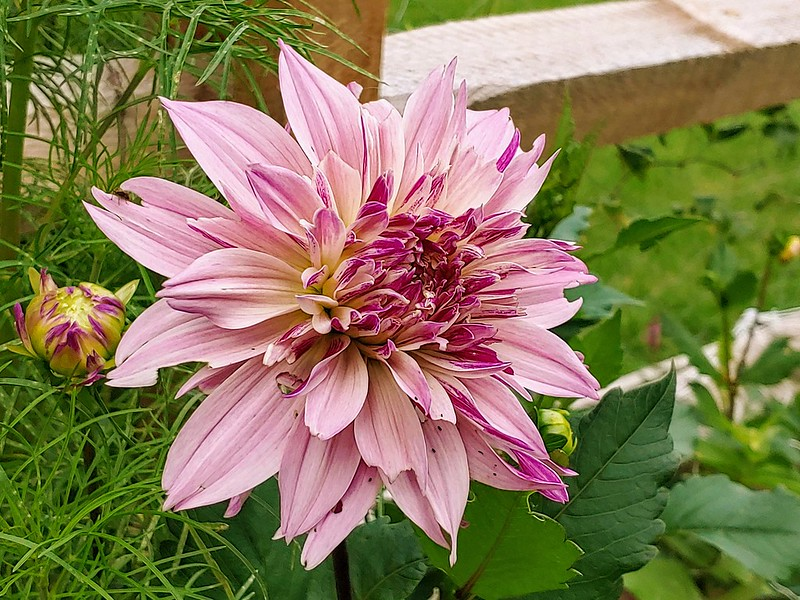 Labyrinth Dahlia (dinnerplate) - almost ready to be cut!