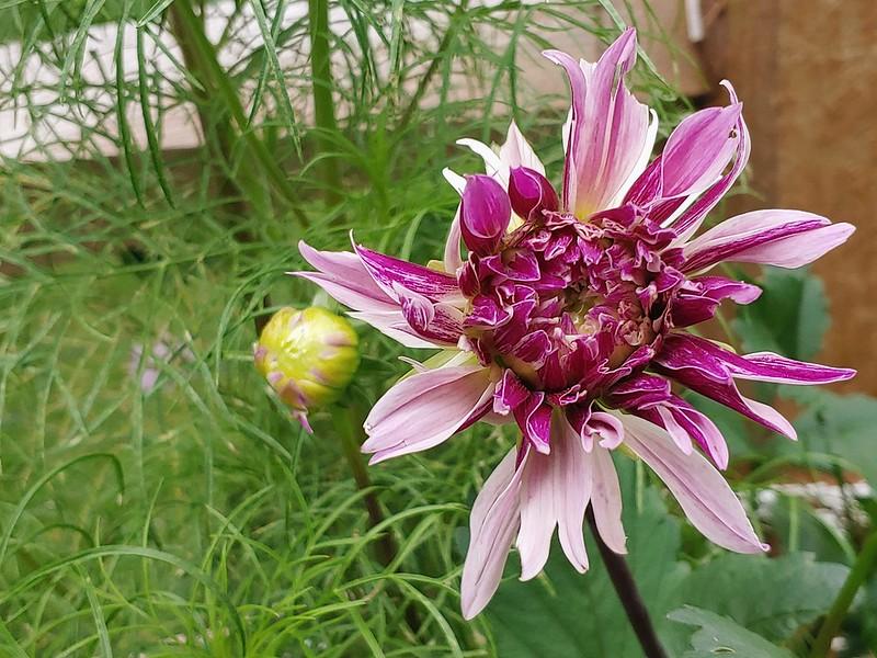 Labyrinth Dahlia (dinnerplate) - mid-bloom