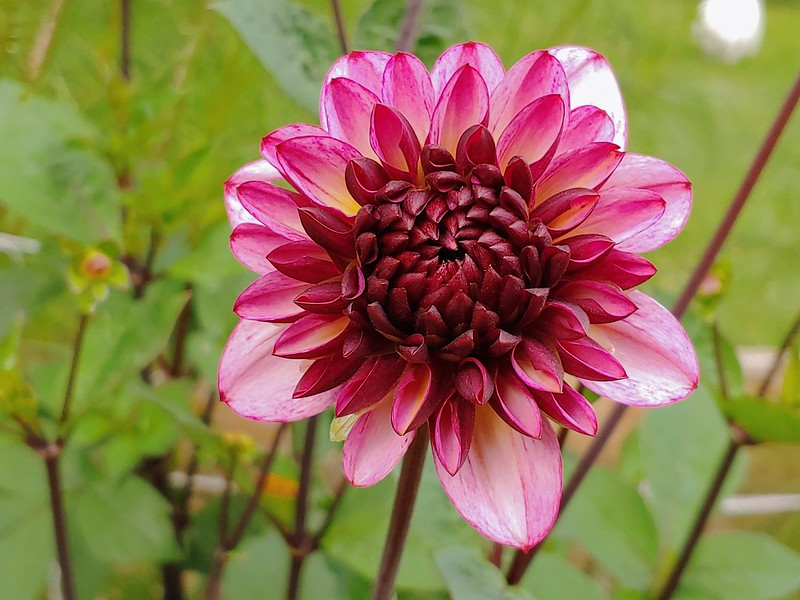 Night Silence Dahlia (decorative) - almost ready to be cut