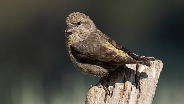 Red Crossbill - type 2