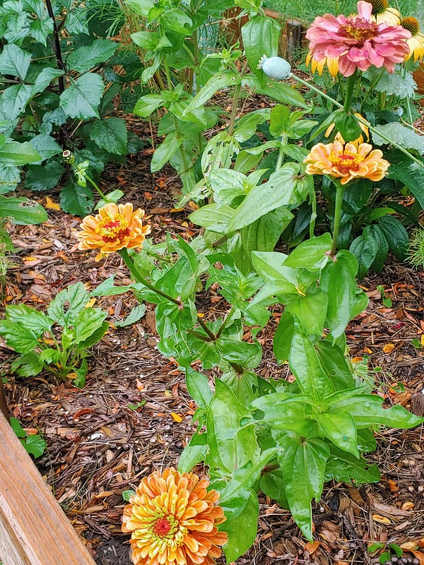 Queen Lime Zinnia - orange and red