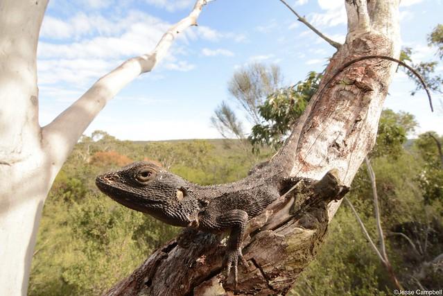 Jacky Dragon (Amphibolorus muricatus). Sydney, NSW