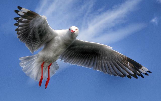 Silver Gull.