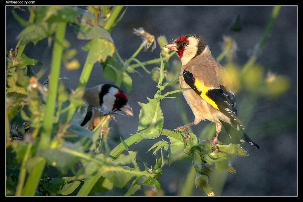 Eurpean Goldfinch: Morning Feed