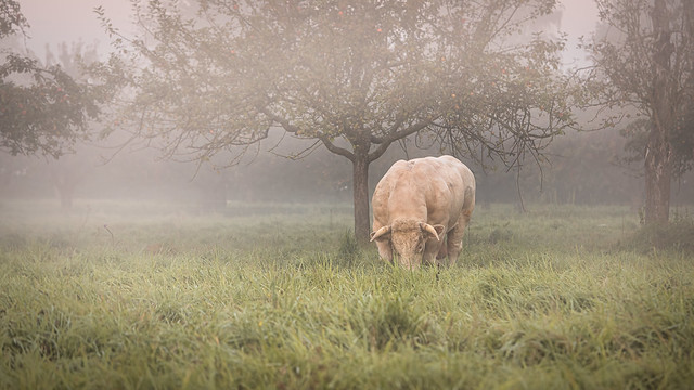 A strong muscled bull grazing in a pasture on a foggy autumn morning