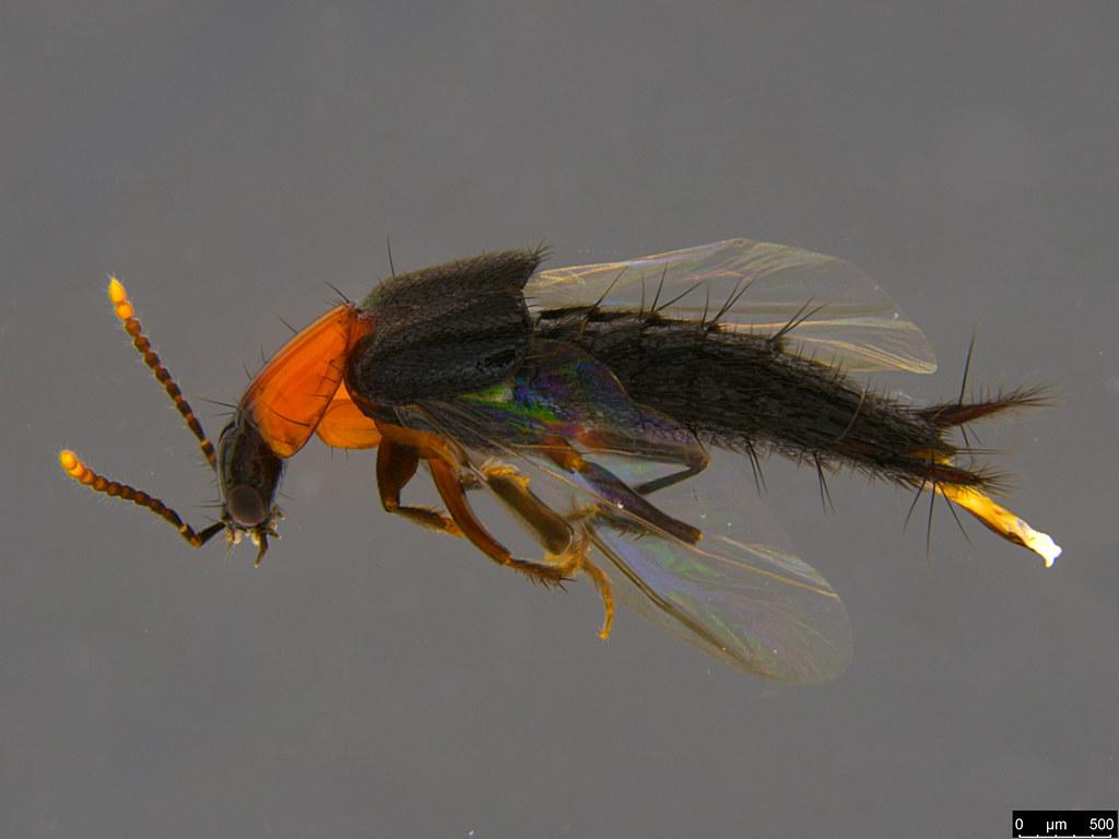 3a - Staphylinidae sp.