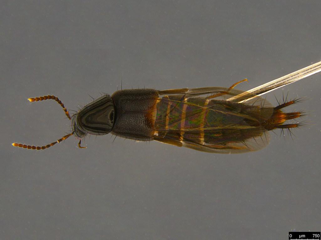 4a - Staphylinidae sp.