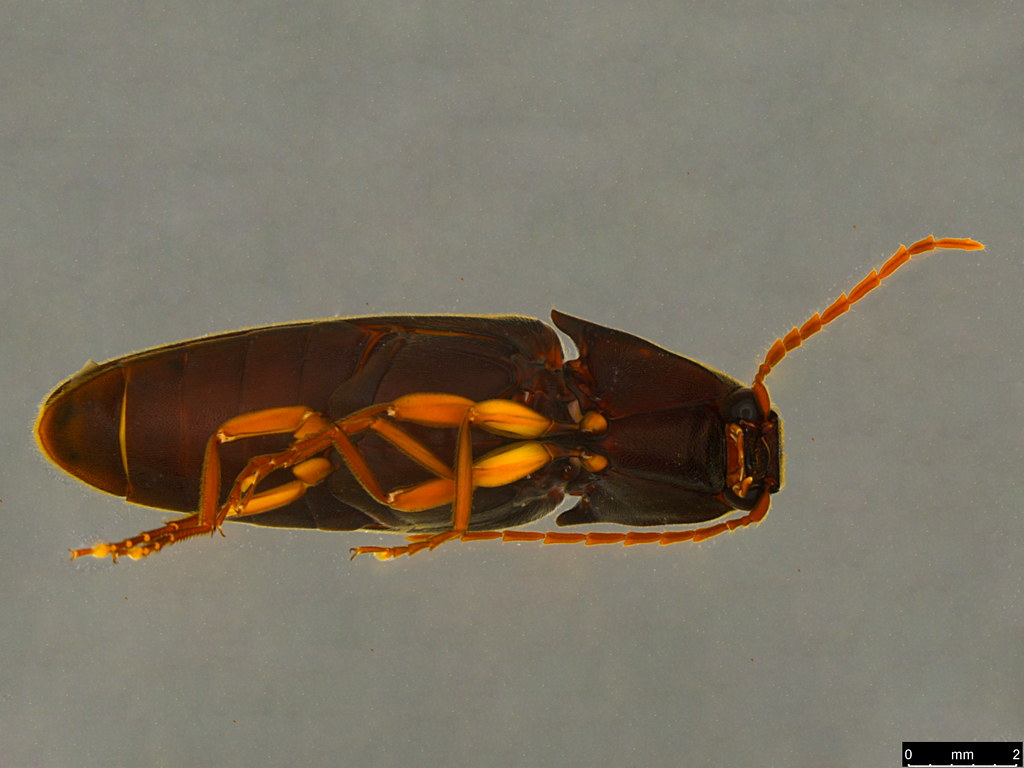 10d - Elateridae sp.