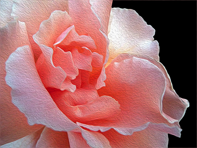 Pink Rose Oiled