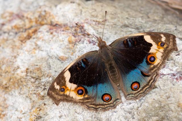 Blue Pansy (Junonia orithya) 翠藍眼蛺蝶