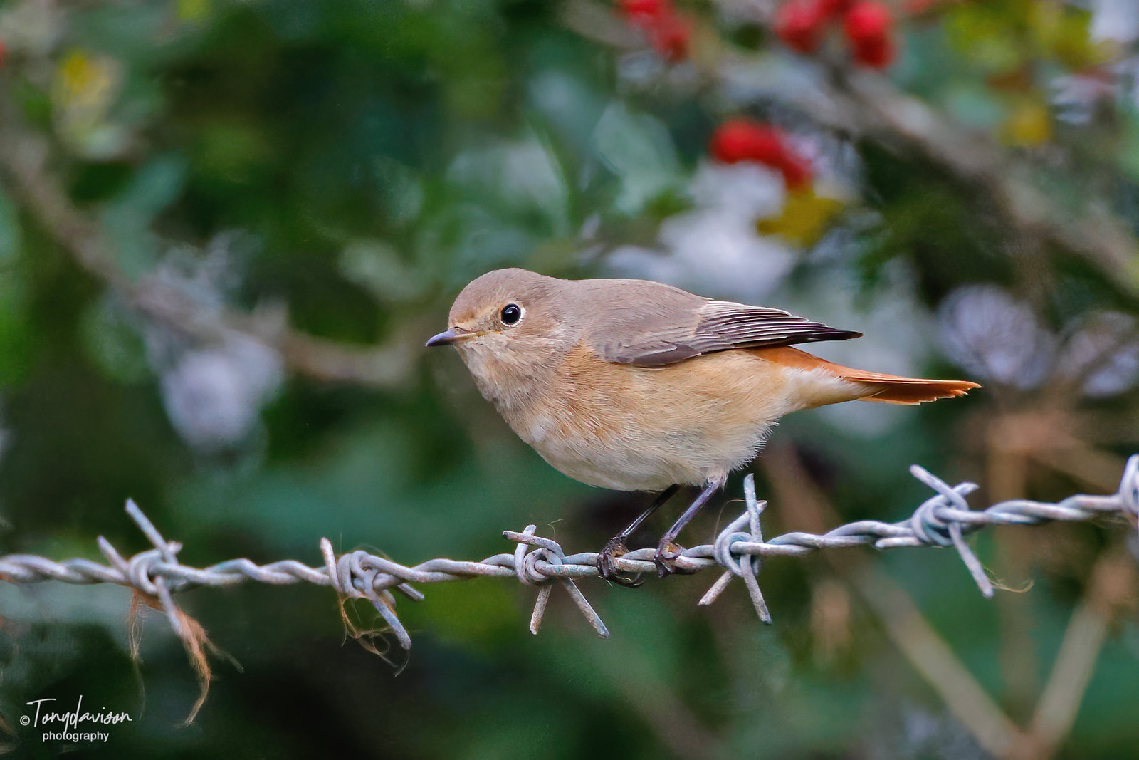 Common Redstart - 1st winter